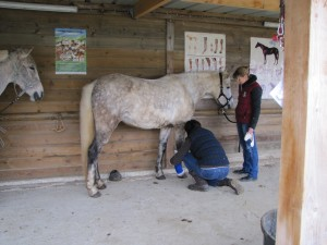 bandage cheval poney soin plaie
