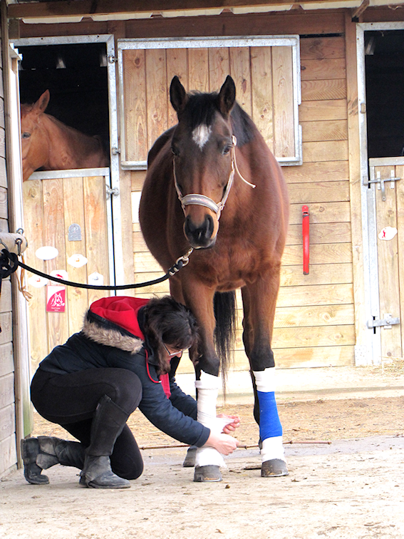 cheval soin bandage cavalier